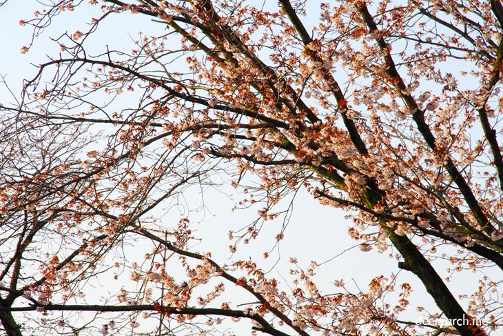 Gion Corner sakura