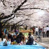 เที่ยวญี่ปุ่น ซากุระ (12) ฮานามิที่สวนอุเอโนะ โตเกียวดิสนีย์แลนด์ Tokyo Disney Land ฮาจิโกะ Shibuya ไก่ทอดยามะจัง