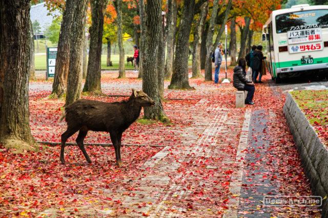 เที่ยวญี่ปุ่น ใบไม้เปลี่ยนสี (17) Autumn in Nara นาราเมืองแห่งกวาง