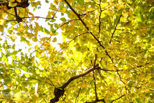เที่ยวญี่ปุ่น ใบไม้เปลี่ยนสี (16) อุโมงค์แปะก๊วย Meijijingu Gaien